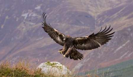 رهاسازی عقاب های تیمار شده در طبیعت