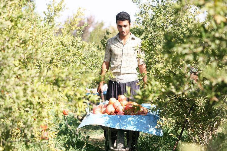گردشگری کشاورزی در سیوان رونق می گیرد