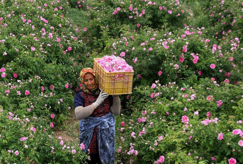 برداشت گل محمدی از گلستان های شهرستان کاشان